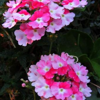 Verbena 'LANAI Twister Cherry Red'