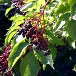 Sambucus nigra 'Black Beauty' - Vlier - Sambucus nigra 'Black Beauty'