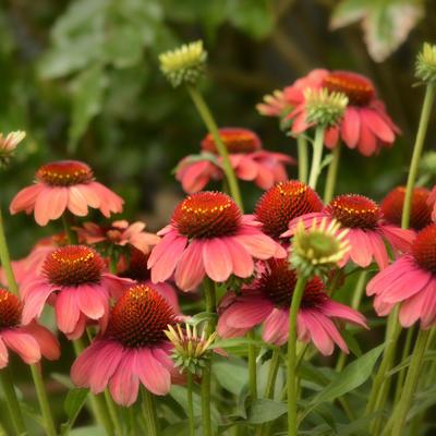 Echinacea 'MOOODZ Sympathy' -