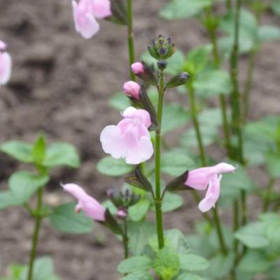 Salvia microphylla 'Blind Faith' -