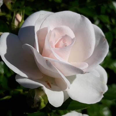Rosa 'Constanze Mozart' -