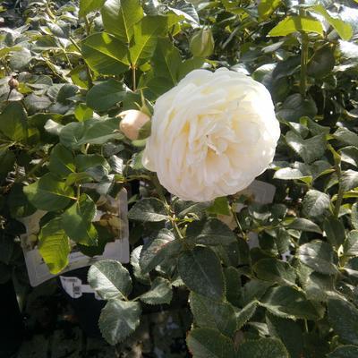 Rosa 'Artemis' -
