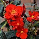 Begonia maxima 'Zwitserland' - Begonia maxima 'Zwitserland' - Begonia