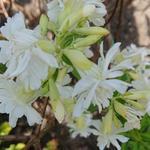 Saponaria officinalis 'Betty Arnold' -