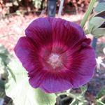 Alcea rosea 'HALO Lavender' -