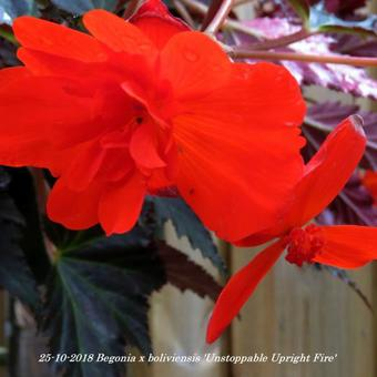 Begonia x boliviensis 'Unstoppable Upright Fire'