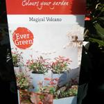 Photinia x fraseri 'Magical Volcano' - Glansmispel
