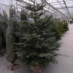 Abies procera - Kerstboom - Nobilisspar - Abies procera