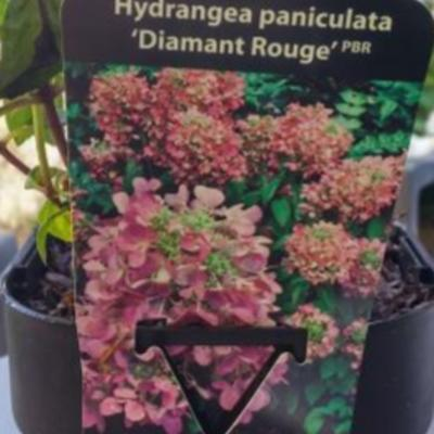 Hydrangea paniculata 'Diamant Rouge'  -