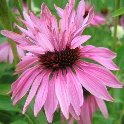 Echinacea purpurea 'Doubledecker' -