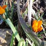 Crocus olivieri subsp. balansae 'Orange Monarch' -