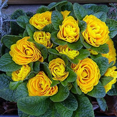Primula vulgaris BELARINA 'Buttercup' -
