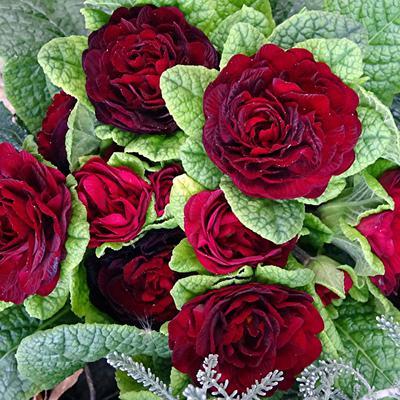 Primula vulgaris BELARINA 'Valentine' -