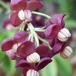 Schijnaugurk/klimbes - Akebia quinata
