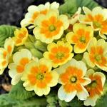 Primula veris 'Lime with Orange' - Sleutelbloem, Gulden sleutelbloem