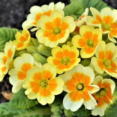 Primula veris 'Lime with Orange' -