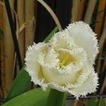 Tulipa 'Fringed mix' -