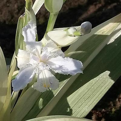 Iris japonica 'Variegata' -