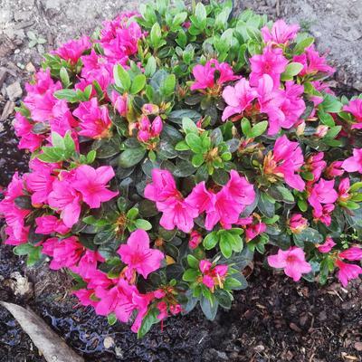 Rhododendron 'Fumiko' -