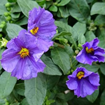 Lycianthes rantonnetii 'Blue Fountain'
