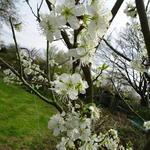 Prunus Domestica 'Reine Claude Verte' - Pruimelaar - Prunus Domestica 'Reine Claude Verte'