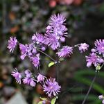Thalictrum 'Black Stockings' - Ruit
