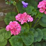 Pelargonium 'Nan West' -