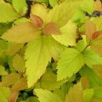 Spiraea japonica 'Tracy' - Spierstruik - Spiraea japonica 'Tracy'