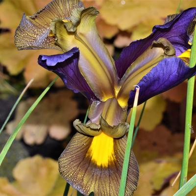 Iris hollandica -
