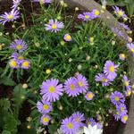 Brachyscome angustifolia 'Billabong Mauve Delight' - Brachyscome angustifolia 'Billabong Mauve Delight' - Australisch madeliefje / kortkuif