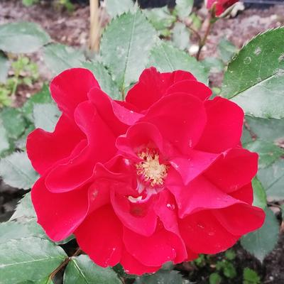 Rosa 'Roter Korsar' -