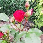 Rosa 'Roter Korsar' - Roos, klimroos - Rosa 'Roter Korsar'