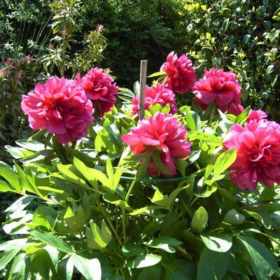 Paeonia officinalis -