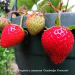Fragaria x ananassa 'Cambridge Favourite' - Aardbei
