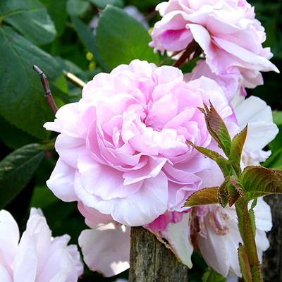 Rosa 'Fantin-Latour' -