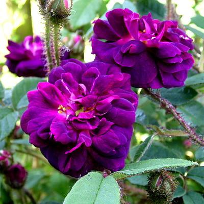 Rosa 'Nuits de Young' -