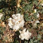 Rosa spinosissima var lutea -