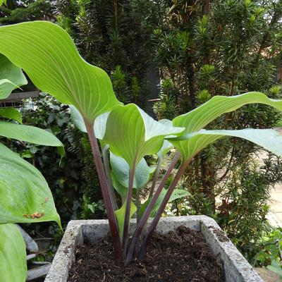 Hosta 'Mr. Blue' -