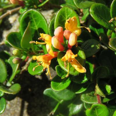Lonicera crassifolia 'Little Honey' -
