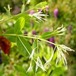Chionanthus virginicus - Chionanthus virginicus - Sneeuwvlokkenboom