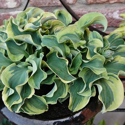 Hosta 'Smiling Mouse'  -