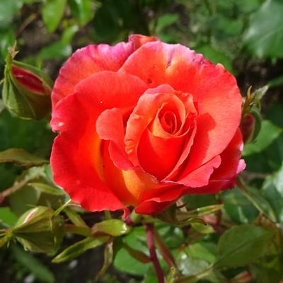 Rosa 'Orange Climber' -