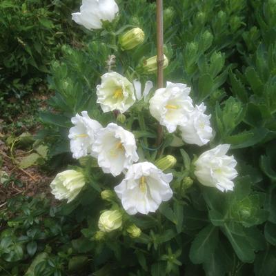 Campanula persicifolia  'Grandiflora Alba' -