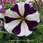 Petunia EASY WAVE 'Burgundy Star' - Petunia EASY WAVE 'Burgundy Star' - Petunia
