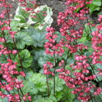 Heuchera CITY 'Paris' - Purperklokje