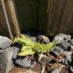 Woodsia alpina - Woodsia alpina - Alpenwimpervaren, Bergwimpervaren