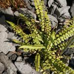 Asplenium adulterinum - Asplenium adulterinum - Steenbreekvaren