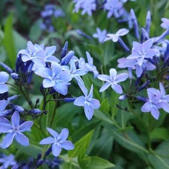 Amsonia tabernaemontana 'Blue Ice'