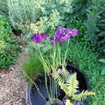 Japanse iris - Iris ensata 'Variegata'