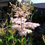 Filipendula purpurea - Filipendula purpurea - Moerasspirea